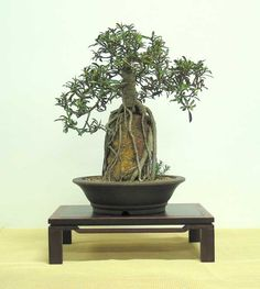 Ficus rubiginosa - Australian Native Plants as Bonsai