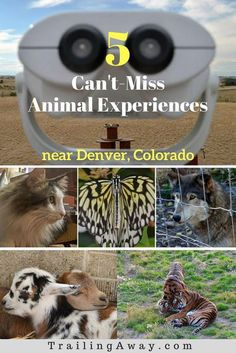 Are you an animal lover? There are many unique and fun animal experiences near Denver, Colorado. This can't-miss list includes photos and details of 5 favorites. #Denver #Colorado #wildlife #wolves #tigers #animalrescue #farms #cats