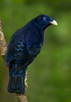Satin Bowerbird - The satin bowerbird is common in rainforest and tall wet sclerophyll forest in eastern Australia from southern Queensland to Victoria. There is also an isolated population in the Wet Tropics of north Queensland. http://en.wikipedia.org/wiki/Satin_bowerbird