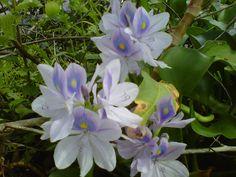 Flor de Bora, estado Guárico