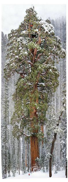 Prorrumpan gozosamente en gritos todos los árboles del bosque. (Salmo 96:12) (Massive 3,200 year old tree in the Sequoyah National Park) SB