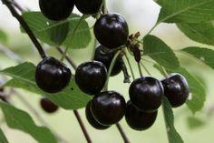 """Prunus cerasus Chokoladnaja - """"chocolate cherry""""."""