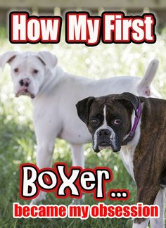 How my first boxer became my obsession. I started with Leah, and it grew from there. My dogs are my kids and grandpups.