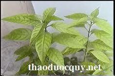 """Cây hoàn ngọc còn có tên là cây con khỉ, họ Ô rô (Acantaceae). Có 2 loại là hoàn ngọc đỏ (Pseuderanthemum bracteatum) và cây hoàn ngọc trắng (Pseuderanthemum palatiferum).    MÔ TẢ :  Cây HÒAN NGỌC còn gọi là cây """" Nhật Nguyệt """",và nhiều tên nửa là """" Tú http://maylocnuoc.biz.vn/  http://maylocnuoc.biz.vn/may-loc-nuoc-ro-tinh-khiet-gia-dinh-gia-re-uong-truc-tiep.html"""