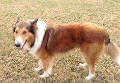This guy's from petfinder.com and if you need to find him try this. https://www.petfinder.com/petdetail/31074596 I rescue collies, but in posting these dogs I've found so many other great dogs looking for a home, I'm starting a generic, all dogs rescue board. Some of my best times in the last 15 years have been in the company of dogs no one else wanted. Give one a try.