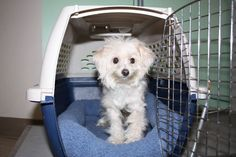Northeast Animal Shelter This adorable male is missing from his home. He was found in Salem MA. He is a Male Maltese or Shih-Tzu. Contact the Salem Animal Control Officer or Danvers Animal Hospital. He is staying over night with the woman who found him. Sharon Boulanger