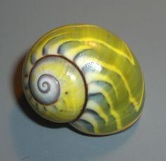 Polymita sulphurosa iridans18,2mm SUPERB QUALITY landsnail landshell shell