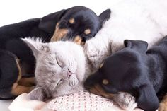 """Will you take a nap with us?""  Click on this image to find more pinnable #dog and #cat pictures"