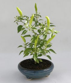 One of our Indoor Bonsai (Bonchi) Chilli Pepper plants. http://norfolkchillifarm.co.uk/indoor-bonsai-chilli-plants-bonchi/