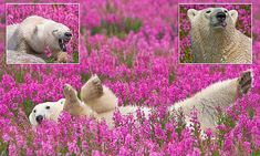 Amazing pictures of polar bears frolicking in a Canadian meadow