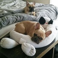 French Bulldogs, FTW!❤❤