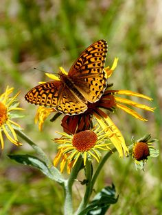 fritillary butterfly on sneezeweed