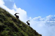 """hike along the famous """"Brienzergrat"""" and you will see Capricorns, Eagles and many more wildlife!"""