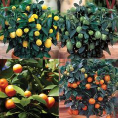 Apples, peaches, and other tree fruits are ideal candidates for containers. Beautiful spring flowers followed by luscious fruit — what's not to love? Fruit trees do require a bit more care than other fruits, especially when it comes to managing insects and diseases. The results are well worth the extra effort. Apples:Most apple varieties are […]