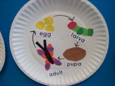 butterfly life cycle for butterfly unit - after we read The Very Hungry Caterpillar