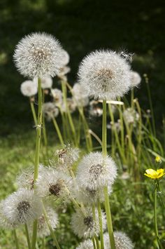 Dandelions | by Pouncer 2
