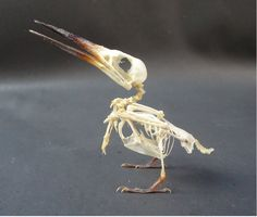 Taxidermy Small Kingfisher Skeleton | eBay