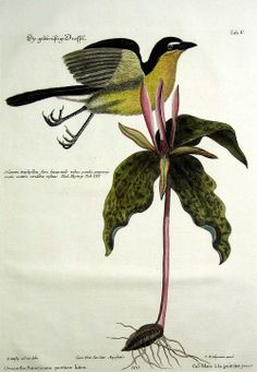 scientificillustration: The Yellow-breasted Chat by Mark Catesby (1682-1749)