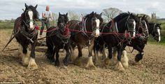 The trusty steeds weigh nearly a ton each and stand at well over 18 hands tall. They are much cheaper to run than gas-guzzling tractors, requiring only oats grown by Mr Waterer and grass to fuel themselves