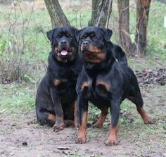 Rottweiler.jpg (720×681)