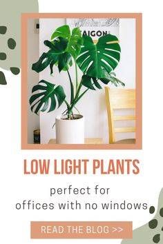 Do you work in an area with very minimal natural light such as a cubicle? Add one of these 6 low light indoor plants to your desk. Each of these plants are easy to care for and can tolerate living where there is no sunlight. These 6 types of plants are at the top of our office decor ideas to make your office feel more homey and enjoyable. Cool Plants, Air Plants, Indoor Plants, Types Of Houseplants, Types Of Plants, Low Light Plants, Office Plants, Do You Work, Office Lighting