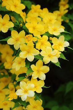 Flowers Nature, Exotic Flowers, Amazing Flowers, Pretty Flowers, Cherry Blossom Art, Blossom Flower, My Flower, Yellow Plants, Yellow Flowers