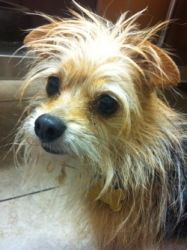 Buddy is an adoptable Yorkshire Terrier Yorkie Dog in Walnut Creek, CA. Buddy's owner moved and left behind him and his brother.� He is 5 years old, he's sweet, well-behaved and loves people.� He woul...