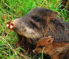 Buscan preservar al tapir y al jabalí en la Península de Yucatán