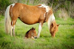 Ponies of Assateague Island.  I once spent some time with a herd here, and they are wonderful horses!
