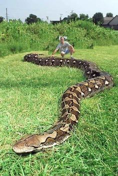 . Les Reptiles, Reptiles And Amphibians, Mammals, World Biggest Snake, Beautiful Creatures, Animals Beautiful, Anaconda Snake, Green Anaconda, Mon Zoo