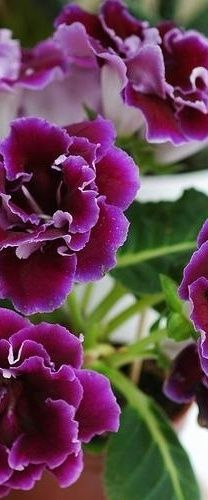 Gloxinia is a genus of three species of tropical rhizomatous herbs in the flowering plant family Gesneriaceae. The species are primarily found in the Andes of South America but Gloxinia perennis is also found in Central America and the West Indies, where it has probably escaped from cultivation.~ Flowers Gardeners Love