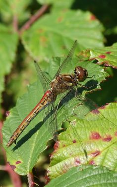 Vagrant Darter (Sympetrum vulgatum) Steenrode Heidelibelle (Photo by Jerdek©)