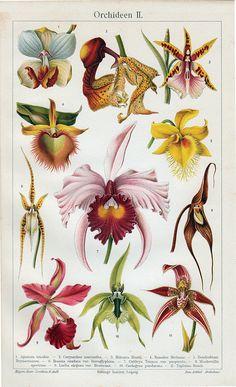 1894 Antique ORCHID ORQUIDEA ORCHIDEA print voluptuous flower