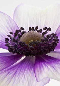 gorgeous anemone