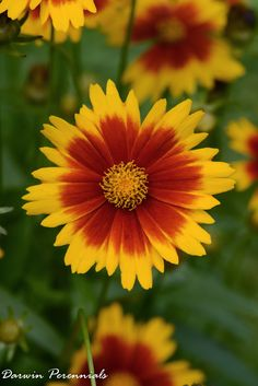 Coreopsis Up Tick Gold and Bronze from Darwin Perennials - Year of the Coreopsis - National Garden Bureau