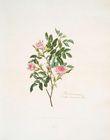 Rosa cinnamomea = Double ci…