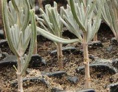 lavender propagation by cuttings Container Herb Garden, Big Garden, Plants, Garden, Planting Vegetables, Propagating Plants, Veggie Garden, Container Gardening, Container Gardening Vegetables