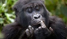 Do you want to explore the land of thousand hills- Rwanda?  Lights on Africa Destinations will plan for you an exciting and #adventurous Rwanda tour. With us you will enjoy a convenient and affordable #Rwandatour to witness the endangered mountain gorillas in their natural habitat, spot several species of primates, #wildlife and bird life.