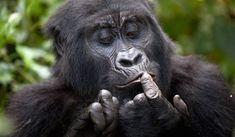 Gorilla tracking in Bwindi Impenetrable Forest, Uganda.