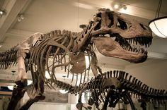 Salão dos Dinossauros no Museu de História Natural de Nova York    O American Museum of Natural History (Museu de História Natural) de Nova York é um dos maiores do mundo desse gênero e reserva a maior coleção de fósseis de dinossauros do planeta.  Leia mais em: http://www.viagemparanovayork.com.br/atracoes-turisticas/museu-de-historia-natural
