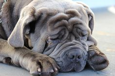 """The breed is commonly referred to as the """"Mastiff"""". Also known as the English Mastiff this giant dog breed gets known for its splendid, good nature. Mastiff Breeds, Bulldog Breeds, Mastiff Dogs, Big Dogs, Large Dogs, Dogs And Puppies, Doggies, Giant Dog Breeds, Large Dog Breeds"""