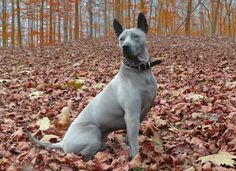 The Thai Ridgeback is a dog breed that originates from Thailand, dating back at least three thousand years, and while it is common there, it is very rare in other parts of the world.