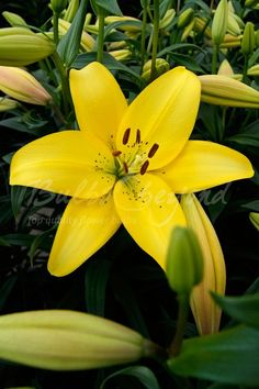 """Order top quality, top size Asiatic Lily bulbs """"Dazzle"""" online from Bulbs & beyond! Let this impressive yellow asiatic lily """"Dazzle"""" you! Buy asiatic lily bulbs here now!"""
