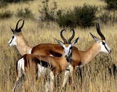 The springbok is a medium-sized brown and white antelope-gazelle of southwestern Africa. It is extremely fast and can reach speeds of 100 km/h and can leap 4 m through the air. Spirit Animal Totem, Animal Spirit Guides, Animal Totems, Structured Water, Animal Medicine, Private Games, Work With Animals, Watercolor Animals, Watercolour