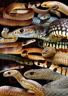 All of these are  Eastern Brown Snakes...