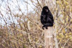 Pensive Primate - Fine Art Photography Print, Irish Nature photography, Photo Print on Glossy Paper Fine Art Photography, Nature Photography, Primate, Photographic Prints, Irish, Paper, Pictures, Etsy, Photos