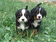 bernese mountain puppies!!! cute :)