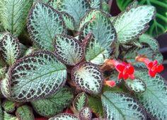 Planta Tapete  -  Episcia cupreata                                                                                                                                                     Mais