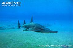 Giant guitarfish swimming