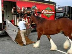Loading The Budweiser Clydesdales Into The Trailer Andalusian Horse, Friesian Horse, Arabian Horses, Palomino, Equine Photography, Animal Photography, Budweiser Commercial, Clydesdale Horses, Black Horses
